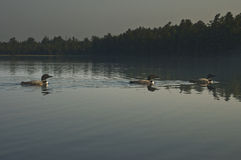 Three Common Loons on a North Woods Lake Stock Photos