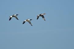 Mergansers Flying in Blue Sky Stock Image