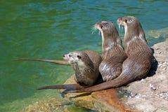 Three common otters Royalty Free Stock Photo