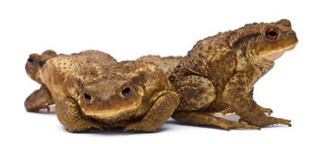 Three common toads or European toads,  Bufo Stock Photo