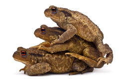 Three common toads or European toads, Bufo bufo Royalty Free Stock Images