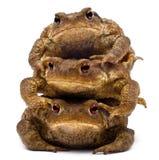 Three common toads or European toads, Bufo bufo Stock Photo