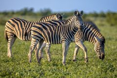 Three Common Zebras foraging on savanna. Three Common Zebras (Equus quagga) foraging in bushveld savanna of Kruger national park South Africa in bright colors royalty free stock image