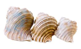 Three conch shells, rear view Stock Photo