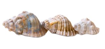 Three conch shells, side view Stock Photography