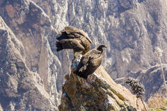 Three Condors at Colca canyon sitting,Peru,South America. This is a condor the biggest flying bird Royalty Free Stock Photo
