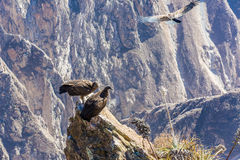 Three Condors at Colca canyon sitting,Peru,South America. This is a condor the biggest flying bird Royalty Free Stock Photos