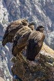 Three Condors at Colca canyon sitting,Peru,South America. This is  condor the biggest flying bird on earth Stock Photography
