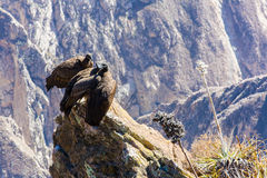 Three Condors at Colca canyon  sitting,Peru,South America. This is a condor the biggest flying bird Royalty Free Stock Images