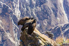 Three Condors at Colca canyon  sitting,Peru,South America. This is a condor the biggest flying bird Stock Photo