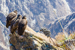 Three Condors at Colca canyon sitting,Peru,South America. This is a condor the biggest flying bird on earth Stock Photo