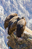 Three Condors at Colca canyon sitting,Peru,South America. This is a condor the biggest flying bird on earth Stock Photos