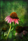 Three Coneflowers with Gunge Layers. This is conflowers with layers of grunge, and textures added, along with brushwork royalty free stock image