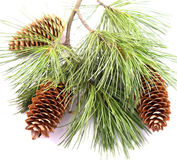 Three cones on the christmas branch. This is a nice photo for postcard. Three cones on the fir branch Royalty Free Stock Photos
