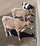 Three confined cows. Strapped to the wall royalty free stock image