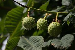 Three conkers on Horse Chestnut tree. stock photography