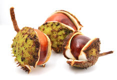 Three conkers isolated on a white background. Royalty Free Stock Photo
