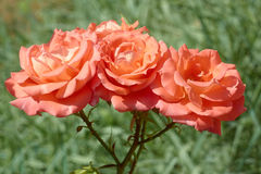 Three coral roses Stock Image