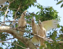 Three corellas chatting. Three corellas appear to chat between themselves Royalty Free Stock Images