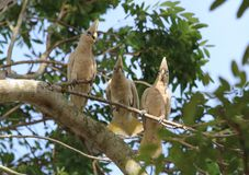 Three corellas. Perched in a tree Royalty Free Stock Images