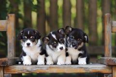 Three corgi puppy sitting outdoors Royalty Free Stock Photos