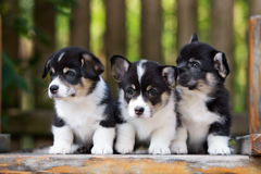 Three corgi puppy sitting outdoors Royalty Free Stock Images