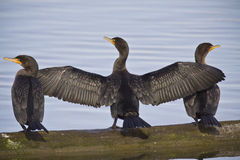 Three Cormorans Stock Images