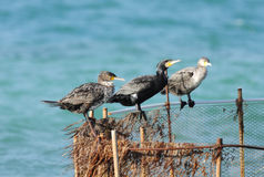 Three cormorants on the fishing net Stock Photo