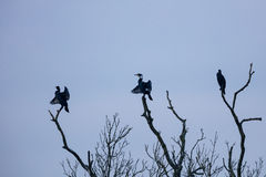 Three cormorants (Phalacrocorax carbo) sit on a dead tree branch Stock Photography