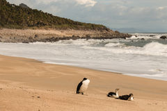 Three cormorants resting on sandy beach near Heaphy Track Royalty Free Stock Images
