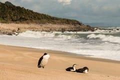 Three cormorants resting on sandy beach Royalty Free Stock Photography