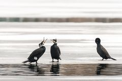 Three cormorants standing on the ice of a frozen lake royalty free stock photo