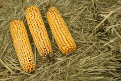 Three corn cobs Royalty Free Stock Photo