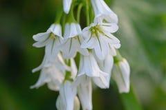Three cornered garlic. Close up macro shot of three cornered garlic Stock Photos