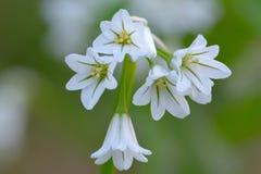 Three cornered garlic. Close up macro shot of three cornered garlic Stock Photo