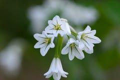 Three cornered garlic. Close up macro shot of three cornered garlic Royalty Free Stock Photos