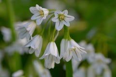 Three cornered garlic. Close up macro shot of three cornered garlic Royalty Free Stock Image