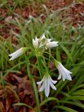 Three-cornered Garlic Flowers in the Woods Stock Images