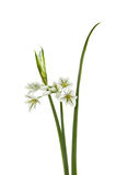 Three-cornered Leek - Allium triquetrum Royalty Free Stock Image
