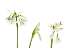 Three cornered leek. Flowers and buds isolated against white Stock Image