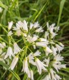 Three-cornered Leek flowers with grasshopper Stock Image