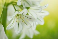 Three Cornered Leek, Snowbell, Allium triquetrum. Gardens and Meadows - Three Cornered Leek, Snowbell, Allium triquetrum Royalty Free Stock Images