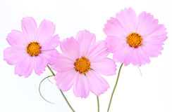 Three Cosmos Stock Photo