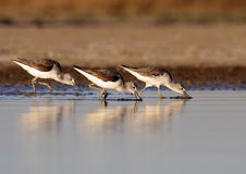 Three course Redshank Royalty Free Stock Images