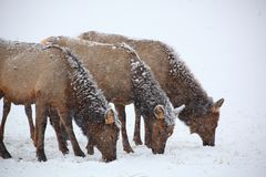 Three cow elk grazing in a winter snow storm. Blizzard stock photo