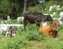 Three cows Royalty Free Stock Image