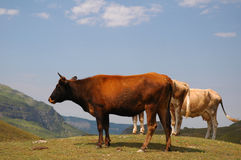 Three cows. At the top of the hill royalty free stock image