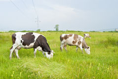 Three cows. A tree cows eating grass Royalty Free Stock Image