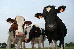 Three cows. Three curious cows investigating the camera Stock Photos