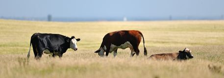 Three cows. Grazing on pasture Stock Images